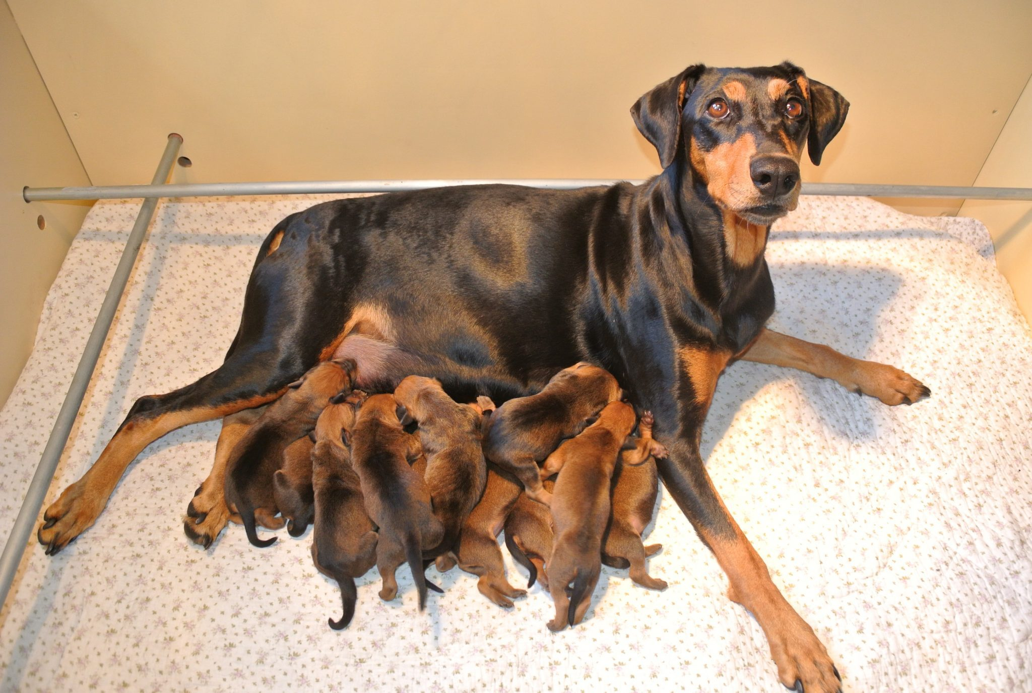 Rode Duitse Pinscher pups